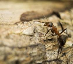 جوهر مورچه